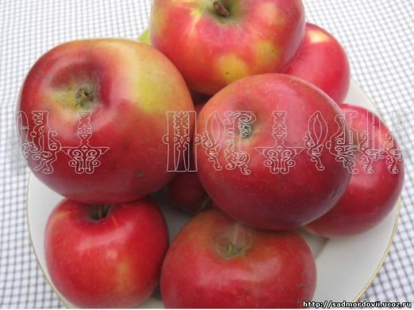 Яблоня зимняя красавица описание фото отзывы