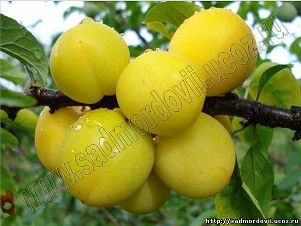 Сорта плодово ягодных культур